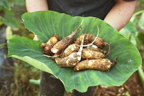参加予約受付中! 伝承野菜を受け継ぐ農家「森の家」による甚五右ヱ門芋のワークショップが学芸大学「FOOD&COMPANY」で開催。
